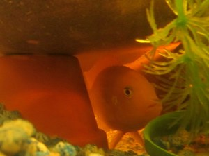 Guppy in hiding